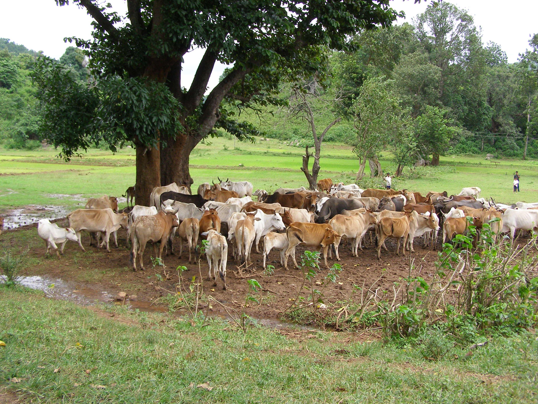 Rebaño de vacas en Odisha