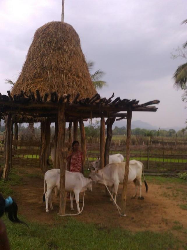 Granjera con vacas en Jadupur, distrito de Kandhamal