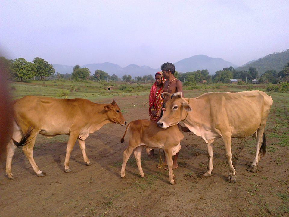 Cría de vacas en Odisha